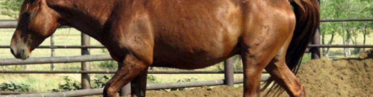 Кушумская порода лошадей