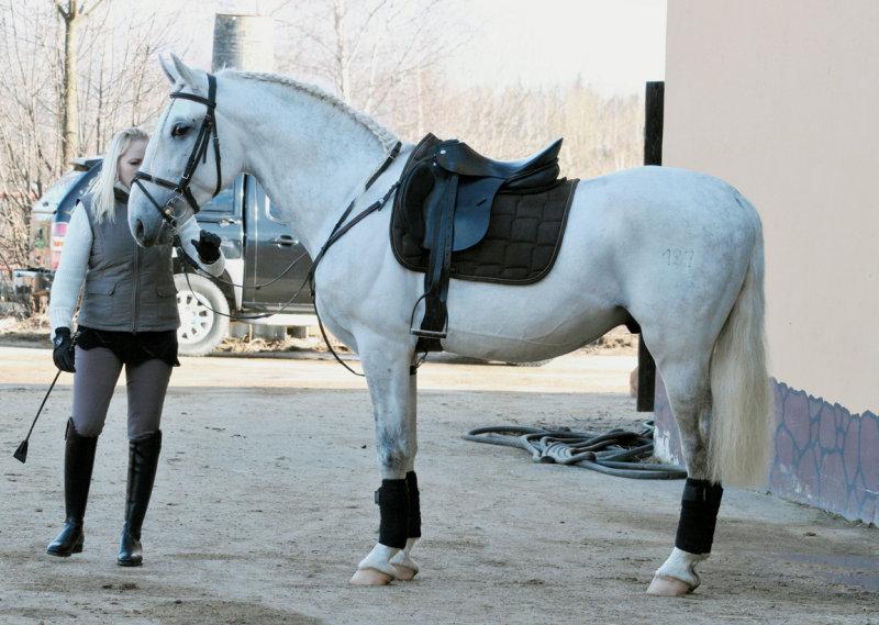 Липпицанская лошадь в седле, фото