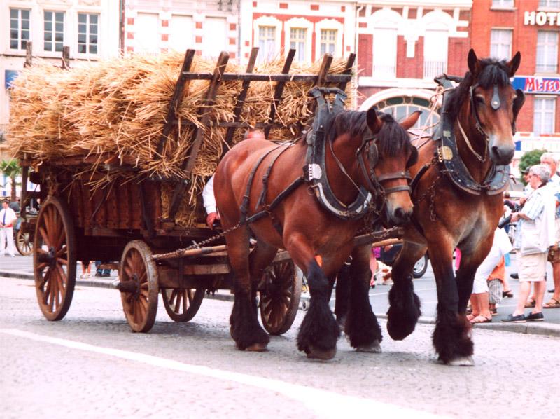 Лошади породы трейт ду норд (северный арден) в упряжи, фото
