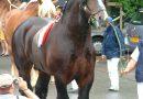Лошади породы Трейт ду норд (северный арден)