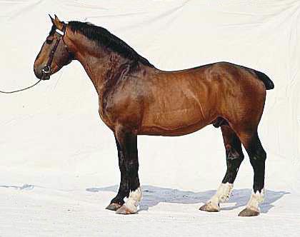 Лошадь нормандский коб, фото