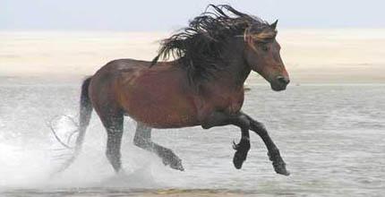 Лошадь породы Сэйбл айленд  в воде, фото