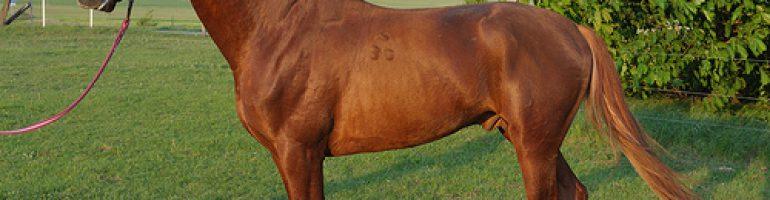 Лошади породы гидран