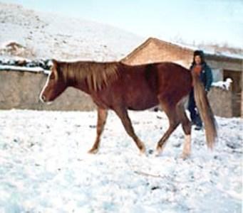 Лошадь породы йили, фото