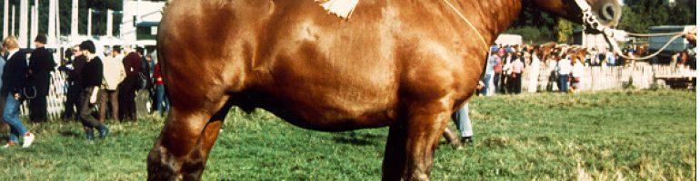 Лошади породы Комтуа (комтойская тяжелоупряжная)