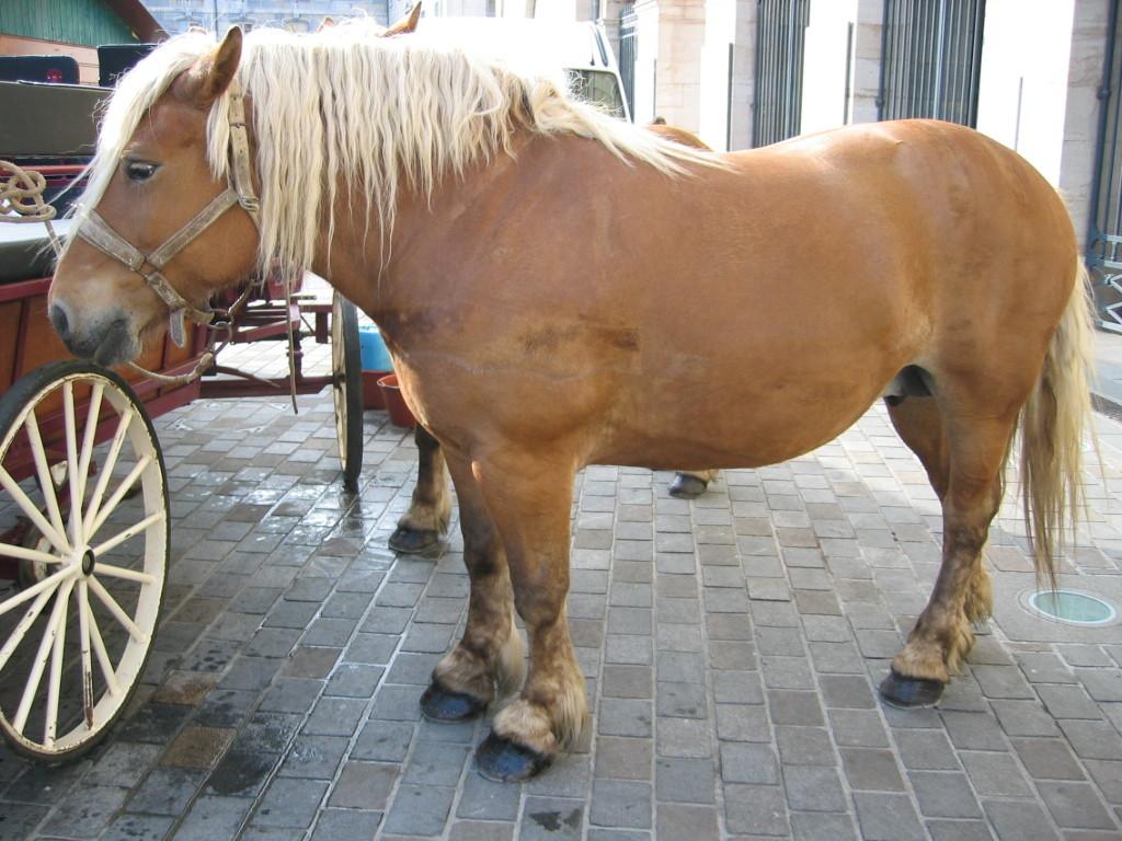 Лошадь породы комтуа, фото