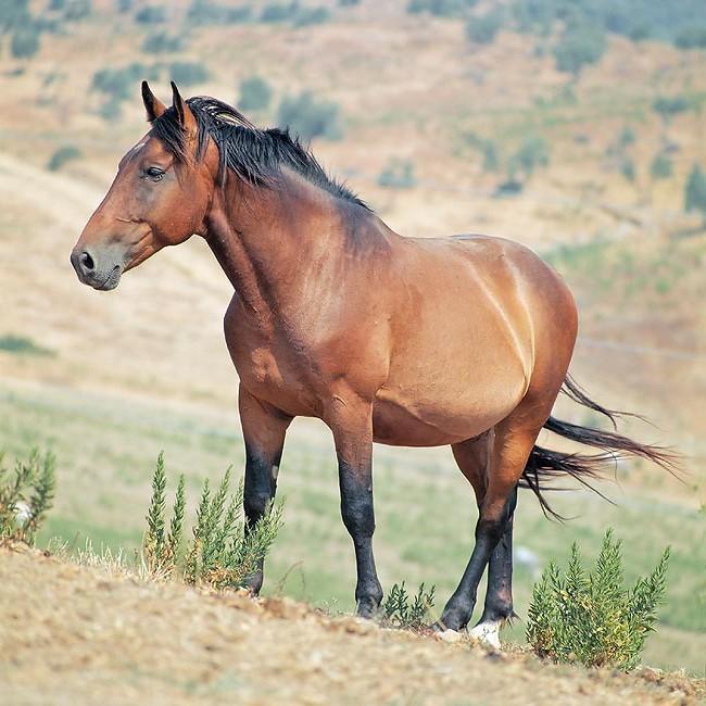 Лошадь породы мареммано, фото