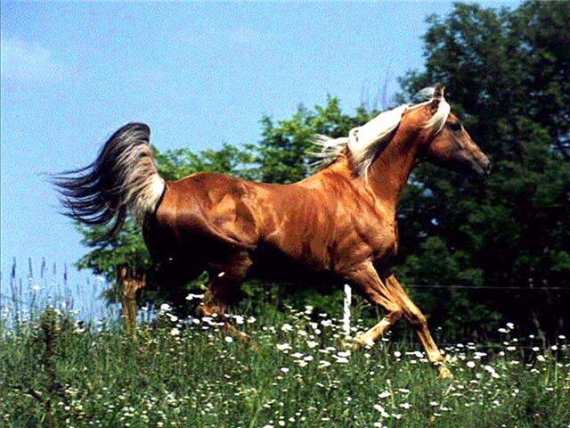 Лошадь породы мораб на лугу, фото