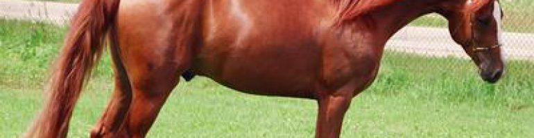 Лошади породы мораб