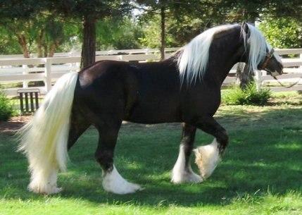 Цыганская лошадь. Описание, особенности, уход и цена цыганской лошади