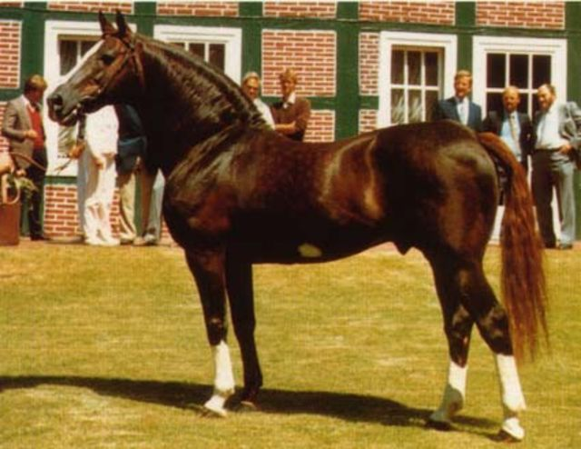 Лошадь породы фуриозо-норт стар, фото