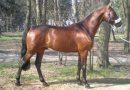 Малопольская порода лошадей