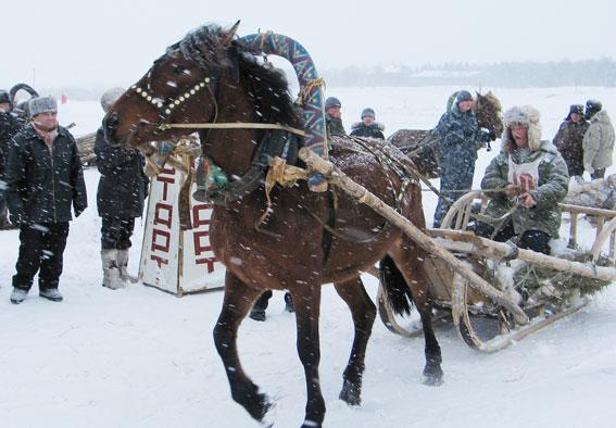 Мезенская порода лошадей в упряжке, фото