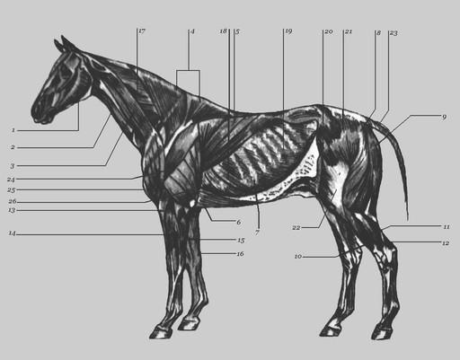 Мускулатура лошади, фото