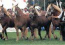 Южно-германская (немецкая) тяжелоупряжная порода лошадей