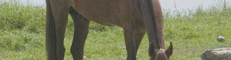 Нигерийская порода лошадей