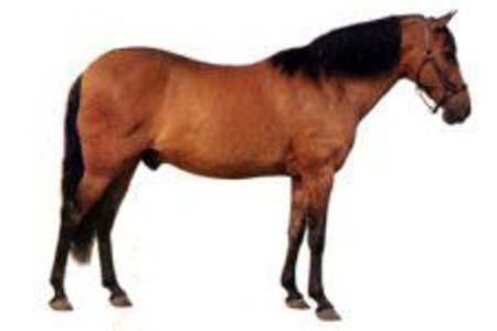 Нигерийский пони, фото