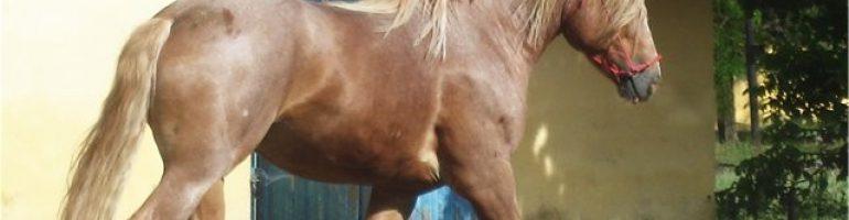 Новоалександровская тяжеловозная порода лошадей