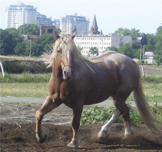 Новоалександровский тяжеловозный жеребец, фото