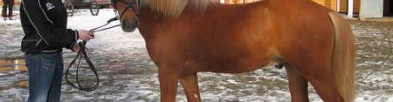 Нордлэндский пони