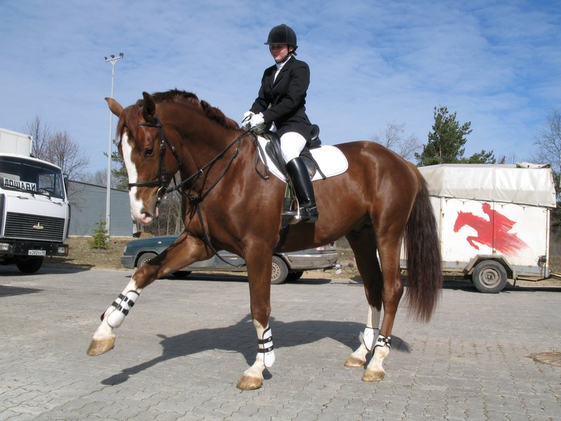 Ольденбургская лошадь с наездником, фото