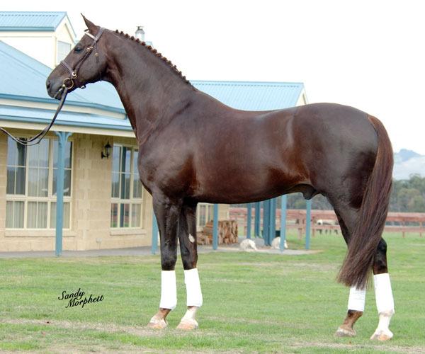 Ольденбургская лошадь, фото