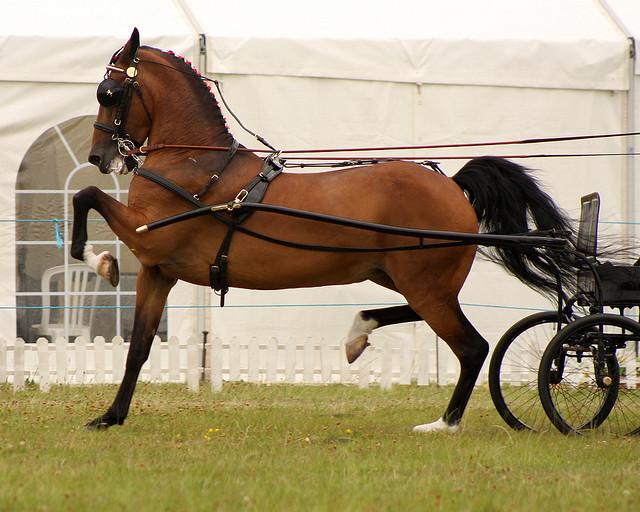 Порода лошадей Хакнэ, фото