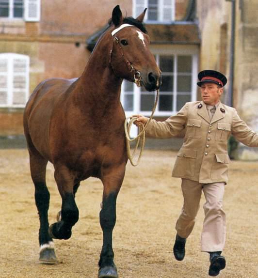 Порода лошадей нормандский коб, фото