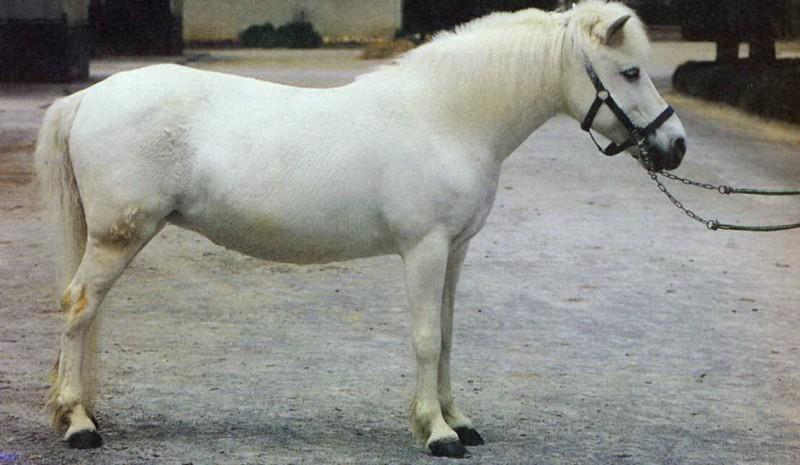 Порода пони китайская гуоксия, фото