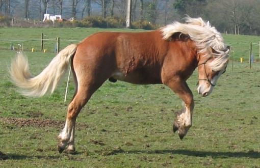 Прыгающая Гафлингерская лошадь (гафлингер), фото