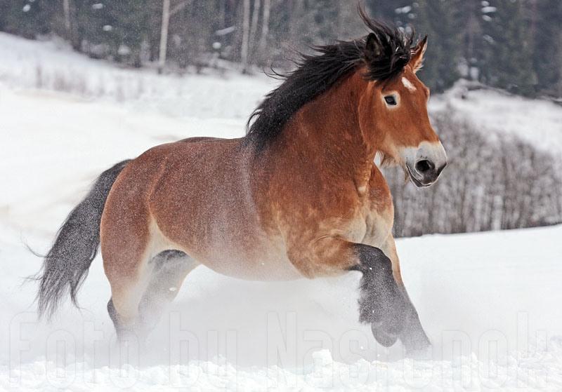 Рейнский тяжеловоз бегущий по снегу, фото