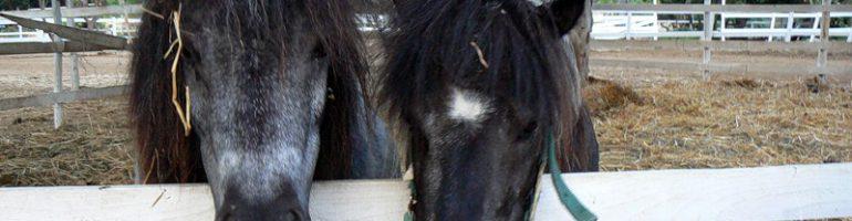 Сардинский пони