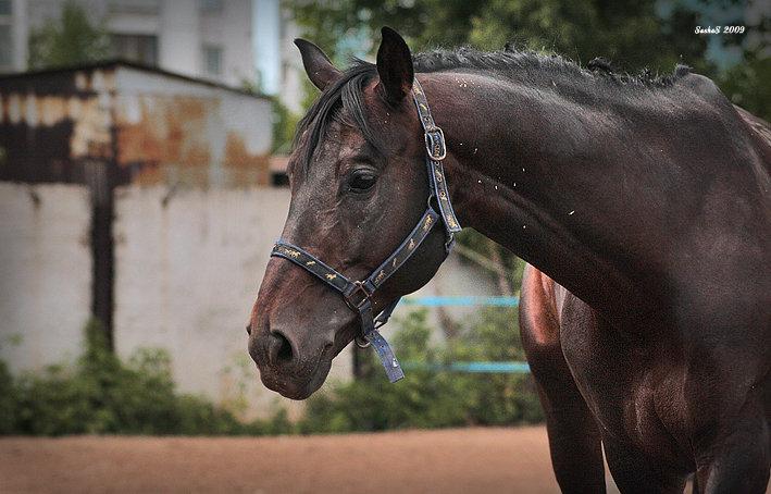 Северо-шведская лошадь, фото