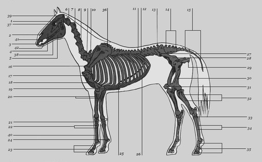 Скелет лошади, фото