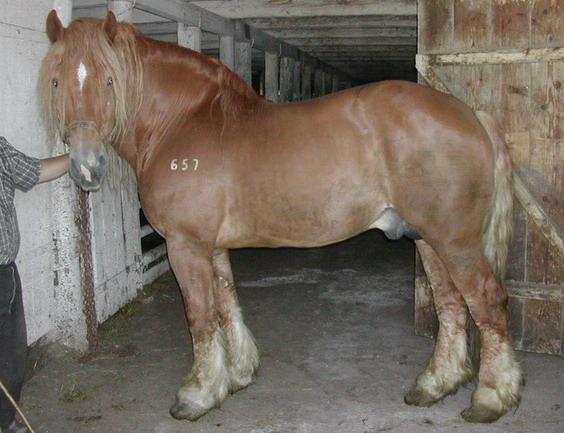 Тяжеловозные лошади советская тяжеловозная порода