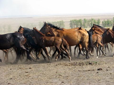 Табун Кушумских лошадей, фото