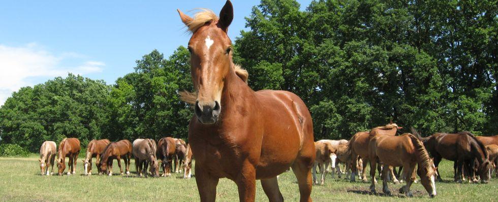 Табун Новоалександровских тяжеловозных лошадей, фото