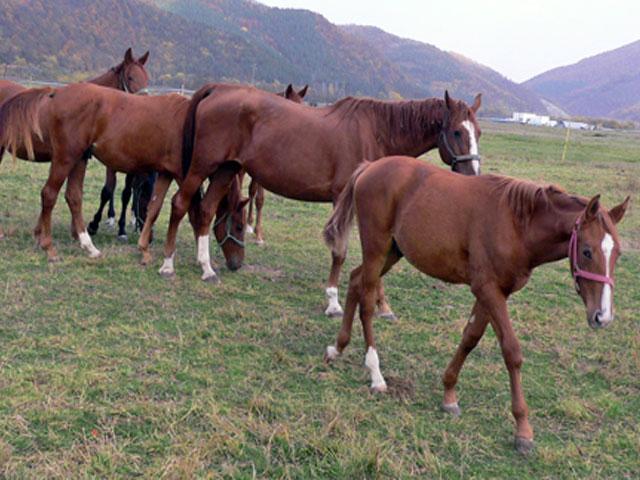 Табун лошадей породы гидран, фото