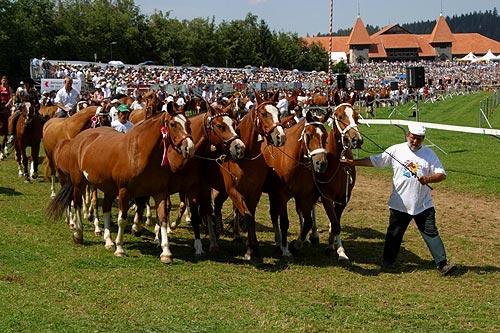 Табун лошадей породы фрайбергер, фото