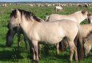 Пони породы Польский коник