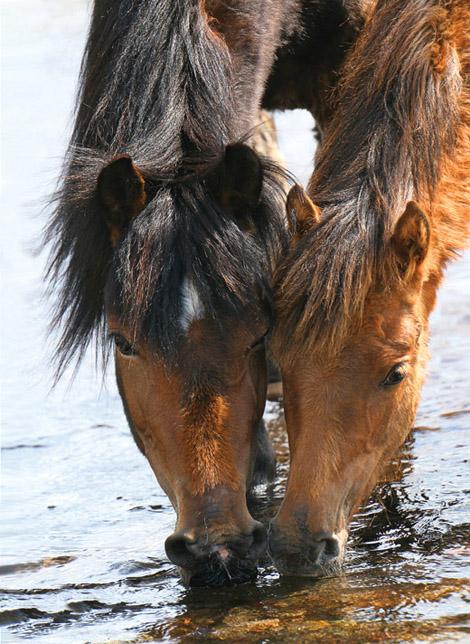 Тавдинские лошади на водопое, фото