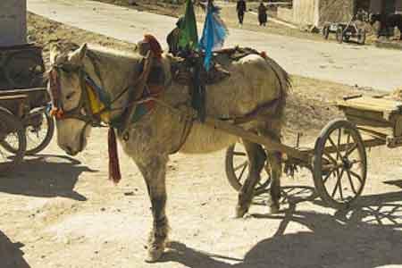 Тибетский пони в упряжке, фото
