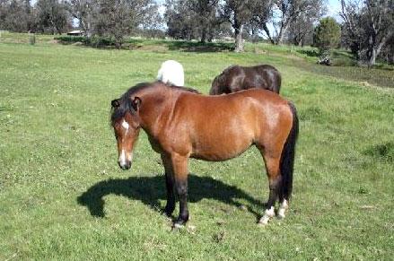 Тиморский пони, фото