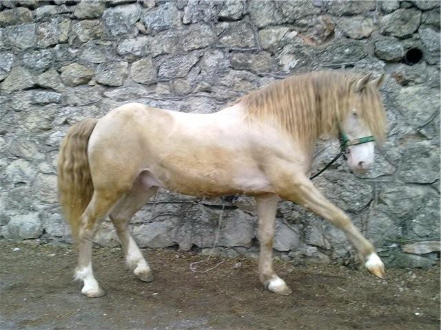 Торийская порода лошадей, фото