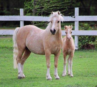 Уэльские горные пони, фото