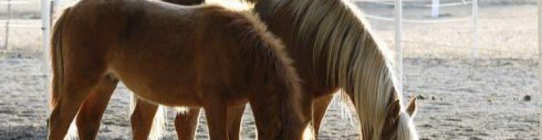 Лошади финской породы