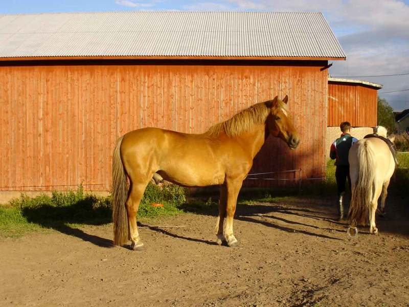 Финская лошадь, фото