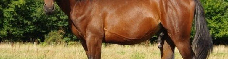 Французская рысистая порода лошадей