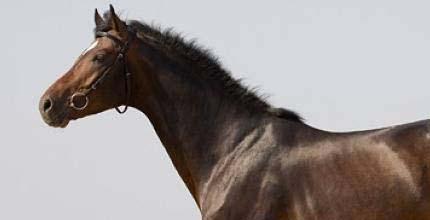 Французский верховой пони, фото