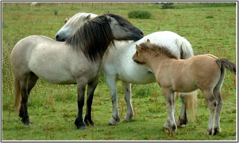 Хайленд пони с жеребенком, фото